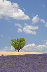 France, View of lavender field with tree - RUEF000819