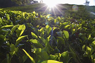 India, Kerala, Munnar, View of black tea field - MBEF000244