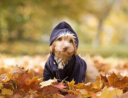 Austria, Dog sitting on autumn leaf - WWF002176
