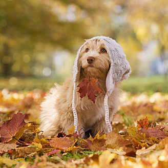 Austria, Dog sitting on autumn leaf - WWF002178