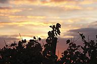 Germany, Bavaria, View of vine branch - SIEF002388