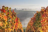 Germany, Bavaria, Theilheimer Mainleite near Waigolshausen, View of vineyard - SIEF002379