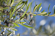 Spain, Olive on branch, close up - DSF000271