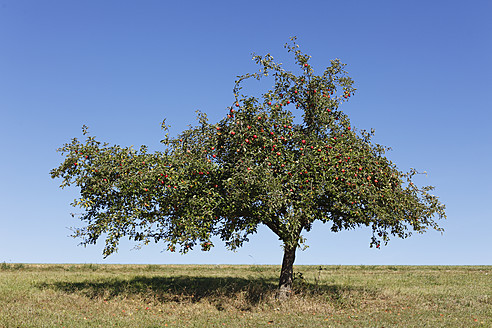 Germany, Bavaria, View of apple tree - SIEF002371