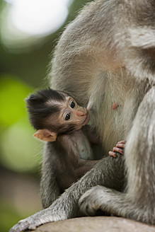 Indonesia, Bali, Long tailed macaque - DSF000304