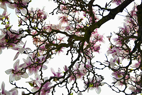 Germany, Bavaria, View of blossoming magnolia - NDF000245