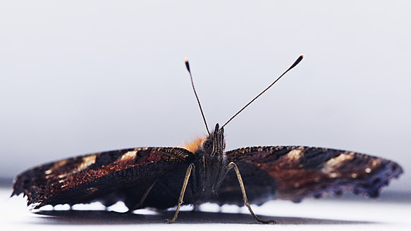Butterfly, Inachis Io, on white background, close up - NGF000002