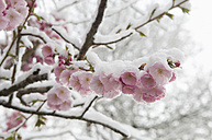 Germany, Munich, Snow covered cherry blossom, close up - ASF004558