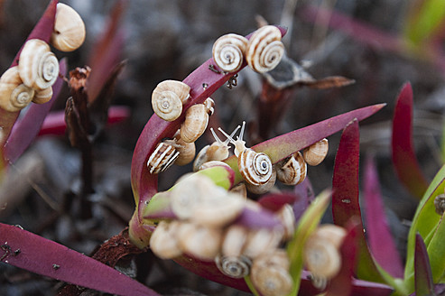 Portugal, Algarve, Sagres, View of flowers with snails - MIRF000451