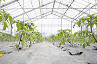 Germany, Bavaria, Cultivation of tomato plants in green house - TCF002518