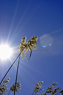 Germany, bavaria, Grasses in sunlight against sky - AXF000063