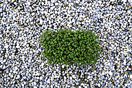Germany, Bavaria, Garden cress on pebbles - TCF002531