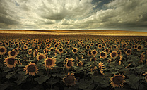 Germany, View of sunflower field near Dresden - CEF000002