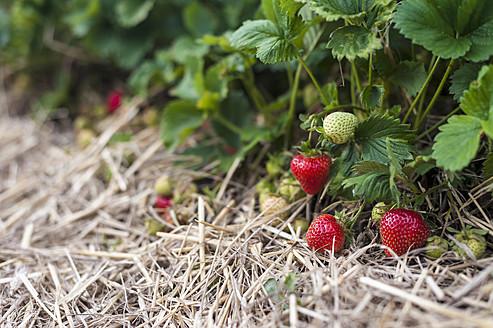 Germany, Saxony, View of strawberry field - MJF000043
