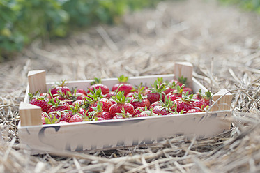 Germany, Saxony, Wooden box of strawberries in field, close up - MJF000052