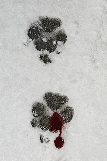 Germany, Bloody dog foot prints in snow - AWD000663