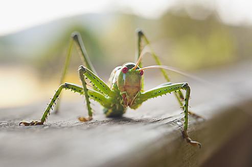 USA, Texas, Close up of grasshopper - ABAF000108