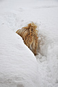 Austria, Dog standing in snow - AXF000156