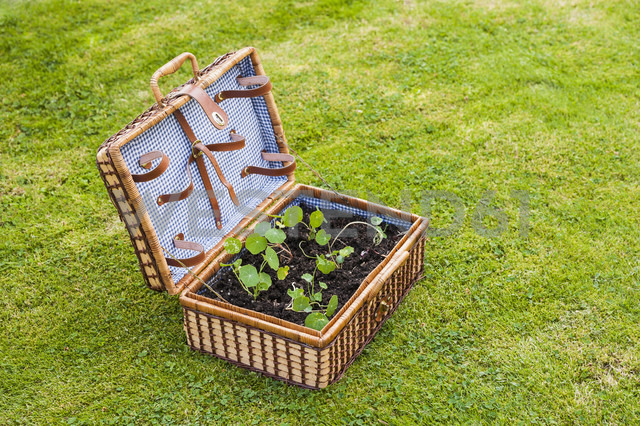 Germany, North Rhine Westphalia, Nasturtium growing in suitcase - KJF000170