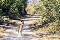 India, Uttarakhand, Axis deer at Jim Corbett National Park - FOF004036