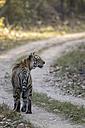 India, Madhya Pradesh, Bengal tiger at Kanha National Park - FOF004042