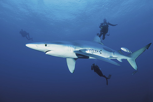 Portugal, Scuba divers swimming with blue shark - GN001232