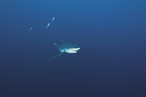 Portugal, Blue shark with pilot fish in Azores - GNF001225