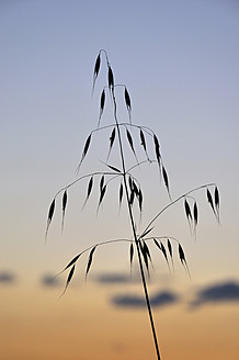 Germany, Bavaria, Close up of oat - AXF000217
