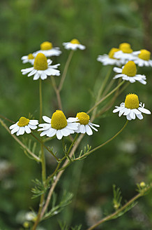 Germany, Bavaria, Close of chamomile - AXF000221