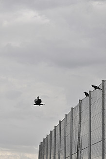 Germany, Bavaria, Three crows on cyclone fence - AXF000248