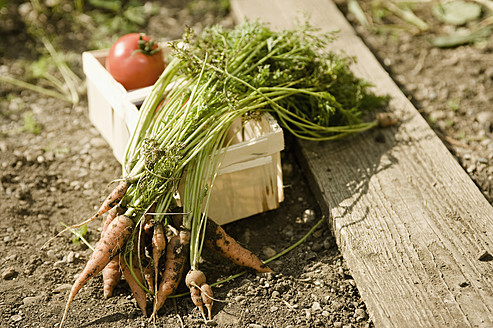 Germany, Bavaria, Carrots and tomatoes in basket at vegetable garden - RNF001003