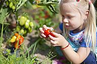 Germany, Bavaria, Girl picking tomatoes in garden - HSIYF000012