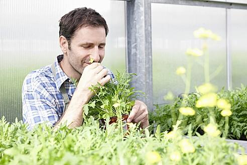 Germany, Bavaria, Munich, Mature man smelling rocket plants in greenhouse - RREF000017