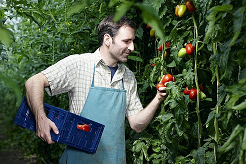 Germany, Bavaria, Munich, Mature man harvesting tomatoes in greenhouse - RREF000042