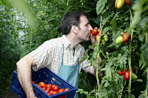 Germany, Bavaria, Munich, Mature man harvesting tomatoes in greenhouse - RREF000043