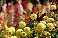 Germany, Bavaria, Close up of Dahlias, Gladioli in background - UMF000469