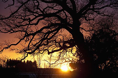 Germany, Bavaria, Oak tree at sunset - UMF000497