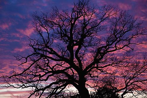 Germany, Bavaria, Oak tree at sunset - UMF000498