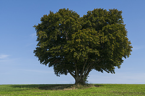 Germany, Beech tree on meadow - TCF002896