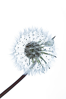Close up of common dandelion - MAEF005105