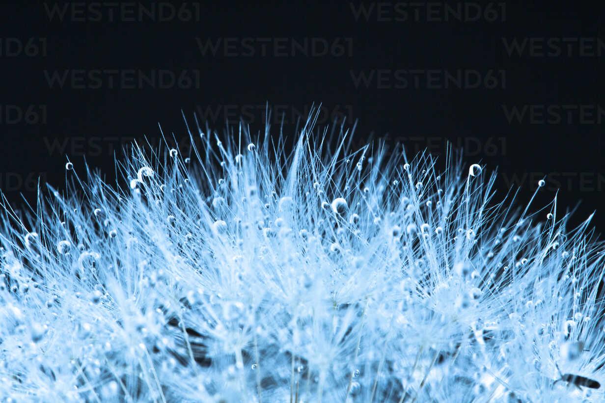 Close up of common dandelion - MAEF005102 - Roman Märzinger/Westend61