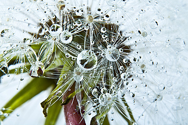 Close up of common dandelion - MAEF005096