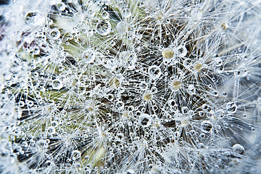 Close up of common dandelion - MAEF005094