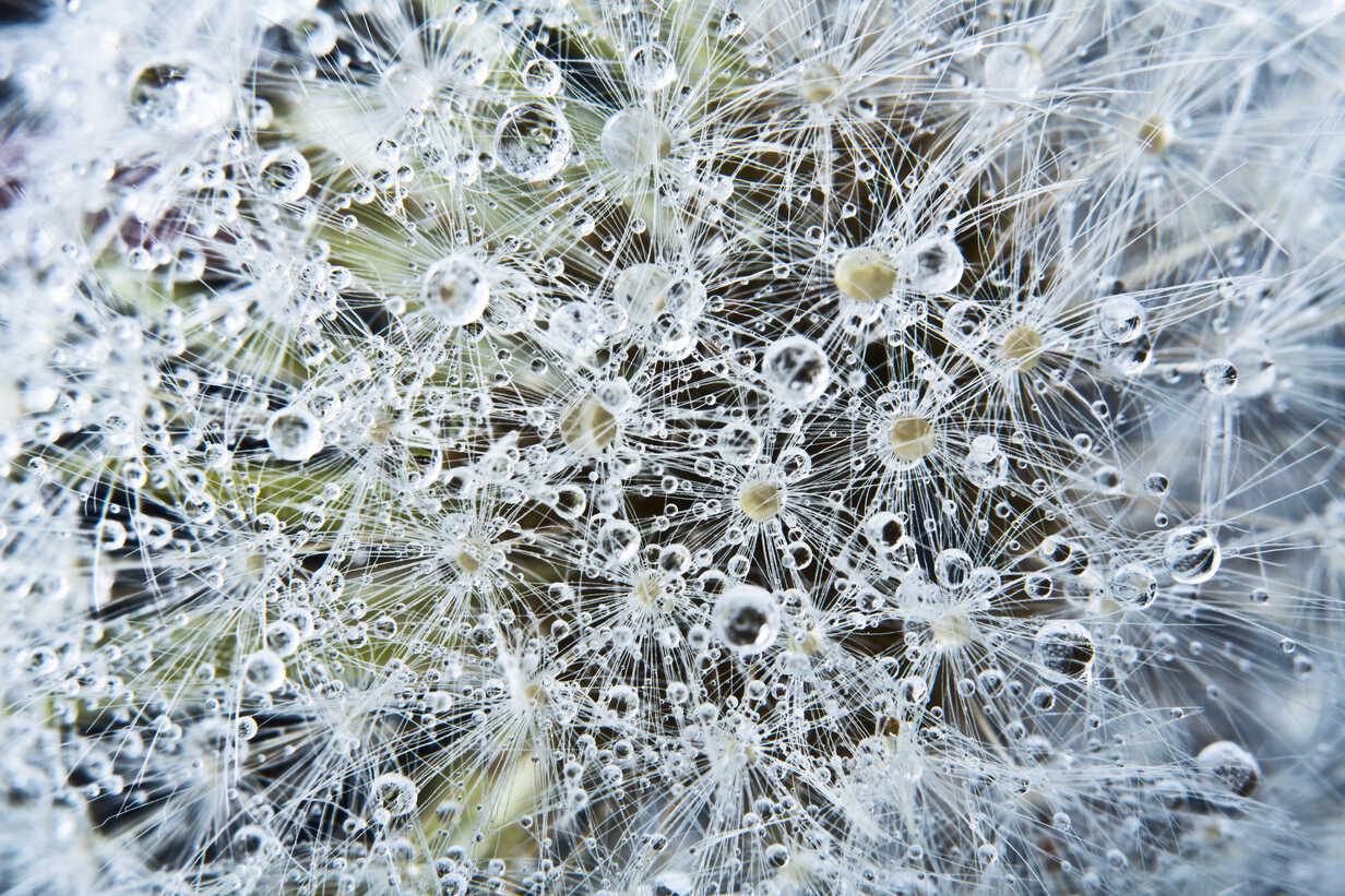 Close up of common dandelion - MAEF005094 - Roman Märzinger/Westend61