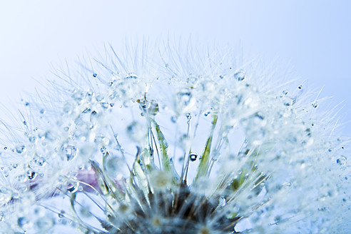Close up of common dandelion - MAEF005091
