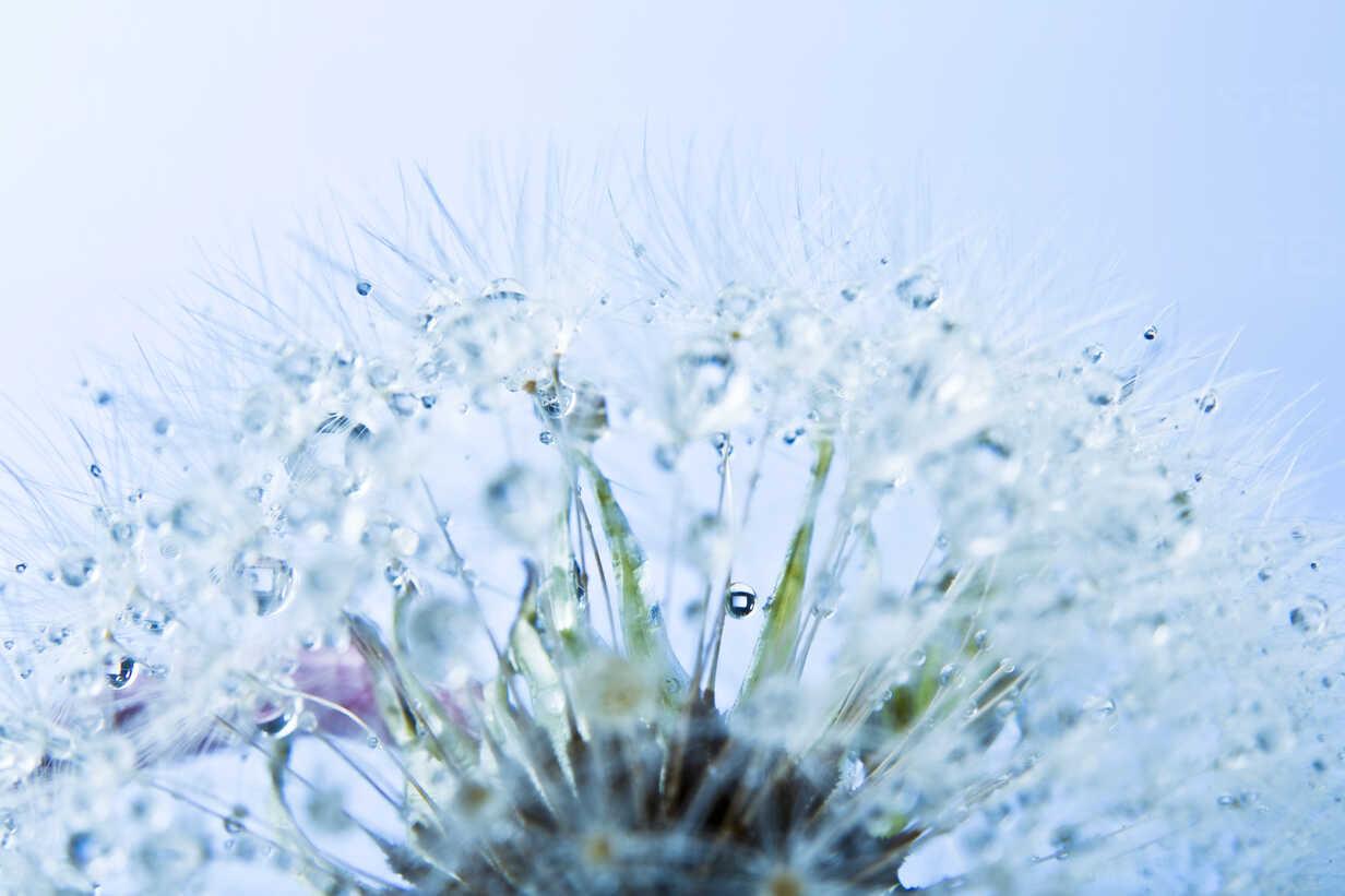 Close up of common dandelion - MAEF005091 - Roman Märzinger/Westend61