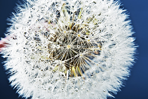 Close up of common dandelion - MAEF005089