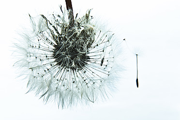 Common Dandelion on white background - MAEF005203