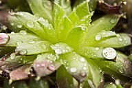 Close up of dewdrops on green succulent plants - MAEF005173
