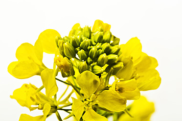 Close up of rapeseed against wihte background - MAEF005174